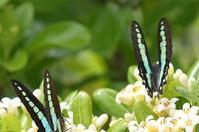アオスジアゲハエキサ型・・・ハートマーク - 蝶と自然の物語
