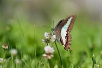 クローバーに吸蜜するアオスジアゲハ - 蝶と自然の物語