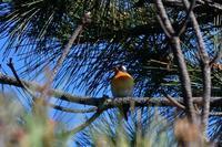 ムギマキ - ごっちの鳥日記