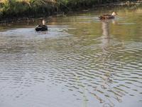 田んぼに合鴨。 - 大朝=水のふる里から