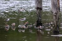 ★少しだけシギ・チドリ類の情報を - 葛西臨海公園・鳥類園Ⅱ