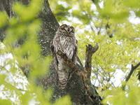 フクロウに会えました - コーヒー党の野鳥と自然 パート2