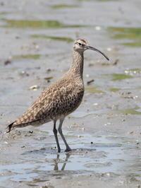 葛西臨海公園にチュウシャクシギが - コーヒー党の野鳥と自然 パート2