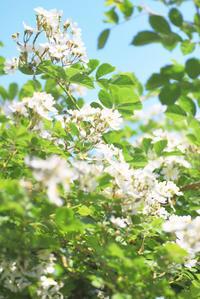 5/13想い出の野バラが満開 - 「あなたに似た花。」