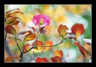 ピンクの花水木 - Desire