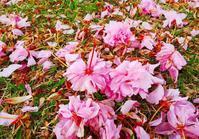 八重桜も散りました - 「 ボ ♪ ボ ♪ 僕らは釣れない中年団 ♪ 」Ver.1