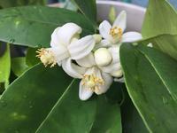 みかんの花摘み。 - MakikoJoy 上北沢のアロマセラピールームあつあつ便り