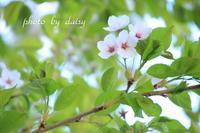 令和の桜 - ロマンティックフォト北海道☆カヌードデバーチョ