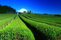 令和元年5月の富士(11)須山の茶畑と富士 - 富士への散歩道 ~撮影記~
