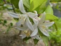 レモンの花と、あやめ?が咲いています。 - ミモザアカシアの日々