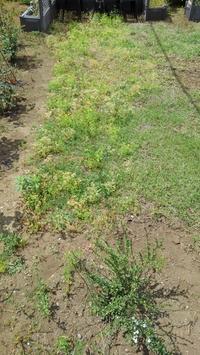 クラピアの草取り、その6 - うちの庭の備忘録 green's garden