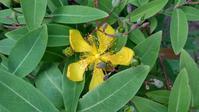 ビヨウヤナギ開花 - うちの庭の備忘録 green's garden