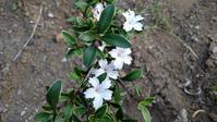 ハクチョウゲ開花 - うちの庭の備忘録 green's garden