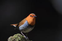 コマドリ近過ぎ - 気まぐれ野鳥写真