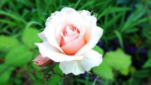 つま恋のバラ -