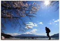 #284 圧倒的桜。平成FINAL - *ruu* no uta