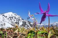 絶景!天空のカタクリ♪・・・天神平・雪解けの高倉山ゲレンデに春が訪れた - 『私のデジタル写真眼』