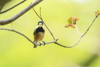 # ヤマガラ - TORI たどり (小鳥、わんこ、写真 ♥)