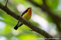近くの森でキビタキ、ソウシチョウ、サンコウチョウ - 気ままに野鳥観察