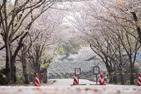 『 圧倒的桜。平成FINAL 』 - *Any*