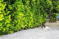 【備瀬のフクギ並木】沖縄旅行 - 5 - - うろ子とカメラ。
