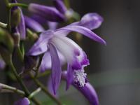 青花紫蘭 - 南都☆花模様