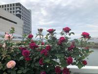 境川東水門のバラ - 浦安フォト日記