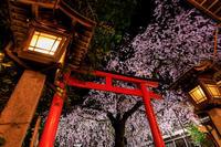 桜咲く京都2019水火天満宮のしだれ桜の朝と夜 - 花景色-K.W.C. PhotoBlog
