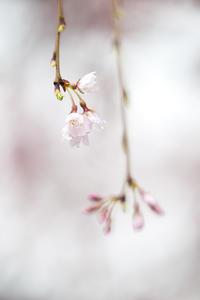 圧倒的桜。平成FINAL -雨に濡れて- - jinsnap_2(weblog on a snap shot)