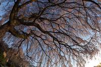 圧倒的桜。平成FINAL -朝日の中で- - jinsnap_2(weblog on a snap shot)