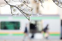 圧倒的桜。平成FINAL -watch over- - jinsnap_2(weblog on a snap shot)