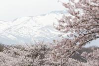 圧倒的桜。平成FINAL -高揚- - jinsnap_2(weblog on a snap shot)