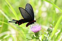 和歌山ジャコウアゲハ - 蝶と自然の物語