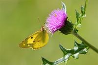 アザミに止まる蝶 - 蝶と自然の物語