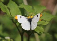 ツマキチョウとウスバシロチョウ(ウスバアゲハ) - 公園昆虫記