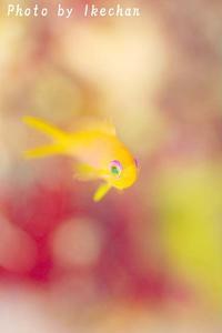 このバックはヤラシイよォ~~キンギョハナダイ幼魚~ - 池ちゃんのマリンフォト