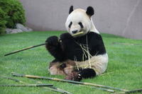 朝からご機嫌に竹を食べる永明♂さん - 山とPANDA