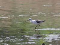 汽水池のアオアシシギ - コーヒー党の野鳥と自然 パート2