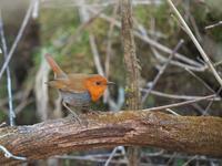 見つけた時の・・・コマドリ②。(フレンドリー編) - 鳥見んGOO!(とりみんぐー!)野鳥との出逢い