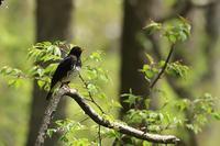 クロツグミの森 - 野鳥公園