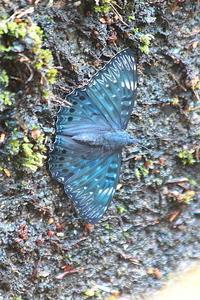 珍鳥ならぬ珍蝶?…スミナガシ - 上州自然散策2