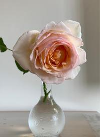 薫乃 [2019/05/15] - 春&ナナと庭の薔薇