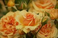 福山ばら公園のバラ - 風見鶏日記