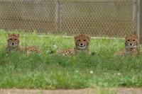 ネコ好きにはたまりません。チーター五つ子が大放飼場にデビュー - 旅プラスの日記