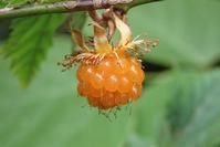 モミジイチゴ紅葉苺 - 里山の四季
