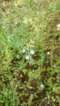キュウリグサ - うちの庭の備忘録 green's garden