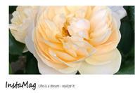 今日のバラ - mypotteaセンチメンタルな日々with photos5