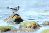 キアシシギ - 北の野鳥たち