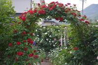 赤いバラ(フラメンタンツ)のアーチ - Doriのお気に入り