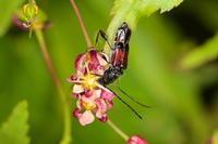 ツジヒゲナガコバネカミキリ 2 - Insect walk
